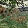 Löwen - Okavango-Delta