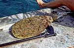 Muschel - Behramkale