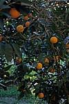 Orangen - Aspendos
