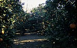 Orangenplantage - Aspendos