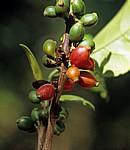 Gewürztour: Kaffee - Sansibar
