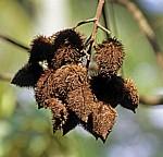 Gewürztour: Lipstick fruit - Sansibar