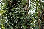 Gewürztour: Pfeffer - Sansibar
