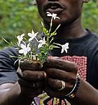 Gewürztour: Jasmin (Jasminum officinale) - Sansibar