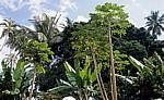 Gewürztour: Papaya, Bananenstauden, Palmen, ... - Sansibar