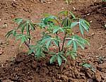 Gewürztour: Cassava - Sansibar
