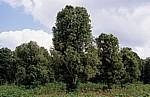 Gewürztour: Nelkenbäume - Sansibar