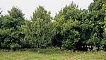 Gewürztour: Muskatnußbäume - Sansibar