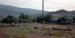 Schafhirte mit seiner Herde - Epidauros