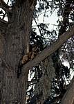 Akropolis: Katze auf einem Baum - Athen