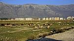Zwischen Sarandë und Vlorë: Schafherde vor Plattenbauten - Albanische Riviera