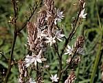Blüten - Apollonia