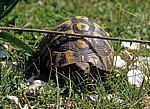 Griechische Landschildkröte (Testudo hermanni) - Apollonia