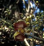 Botanischer Garten: Cannon-Ball Tree - George Town (Penang)