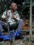 Orang Utan Abu (Pongo abelii) neben einem Ranger - Leuser National Park
