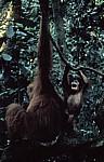 Orang Utans (Pongo abelii) - Leuser National Park