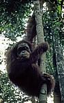 Orang Utan (Pongo abelii) - Leuser National Park