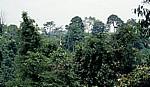 Baumkronen - Leuser National Park