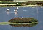 Flamingos (Phoenicopterus ruber roseus) und Möwen - Stagno di Santa Gilla