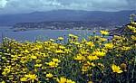 Blütenmeer: u. a. Färber-Hundskamille (Anthemis tinctoria) - Bosa Marina