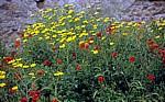 Castello Malaspina (Serravalle): Klatschmohn (Papaver rhoeas) und Färber-Hundskamille (Anthemis tinctoria) - Bosa