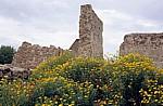 Färber-Hundskamille (Anthemis tinctoria) und Klatschmohn (Papaver rhoeas) im Castello Malaspina (Serravalle) - Bosa