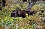 Wildpferd (Cavallini della Giara) - Giara di Gesturi