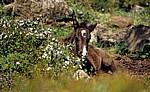 Wildpferd-Fohlen (Cavallini della Giara) - Giara di Gesturi