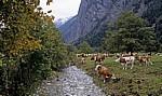 Kühe am Großen Ahornboden - Eng