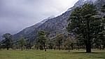 Bergahorn (Acer pseudoplatanus) - Großer Ahornboden