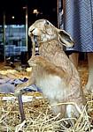 Schaufensterdekoration: Ausgestopfter Hase - Duderstadt