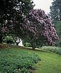 Botanical Garden: Palisanderholzbaum (Jacaranda mimosifolia) - Vumba Mountains