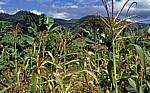 Obst- (Bananen, Mandarinen) und Maisanbau (mix cropping) - Chimanimani Mountains