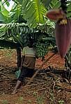 Ein Subsistenzbauer zeitg stolz seine Bananenerträge - Chimanimani Mountains