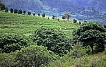 Teepflücker auf einer Teeplantage - Chimanimani Mountains