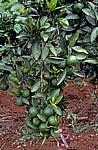 Mandarinenbaum mit Früchten - Chimanimani Mountains