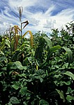 Mix Cropping (u. a. mit Mais) - Provinz Manica