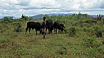 Ein Junge hütet eine Rinderherde - Sussundenga