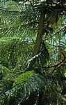Akazienblätter (Mimosaceae) - Nyanyadzi Hot Springs