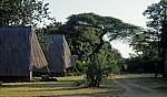 Schirmakazie (Acacia tortilis) - Nyanyadzi Hot Springs