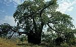 Baobab / Affenbrotbaum (Adansonia digitata) - Masvingo