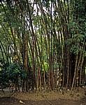 Bambus (Bambuseae) - Victoria Falls
