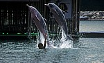 Sentosa - Palawan Beach: Delphin-Lagune - Buckeldelphine (Sousa chinensis) - Singapur