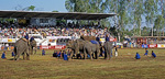 Elephant Round-up - Surin