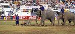 Elephant Round-up: Elefant schiebt eine Handkarre - Surin