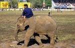 Elephant Round-up: Elefant und Mahout - Surin