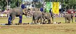 Elephant Round-up: Hindernislauf über Freiwillige - Surin
