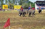 Elephant Round-up: Elefantenfußball - kurz vor dem Tor - Surin