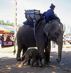 Elefantenmutter mit Kind und Mahout - Surin