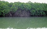 Mangroven - Cat Ba